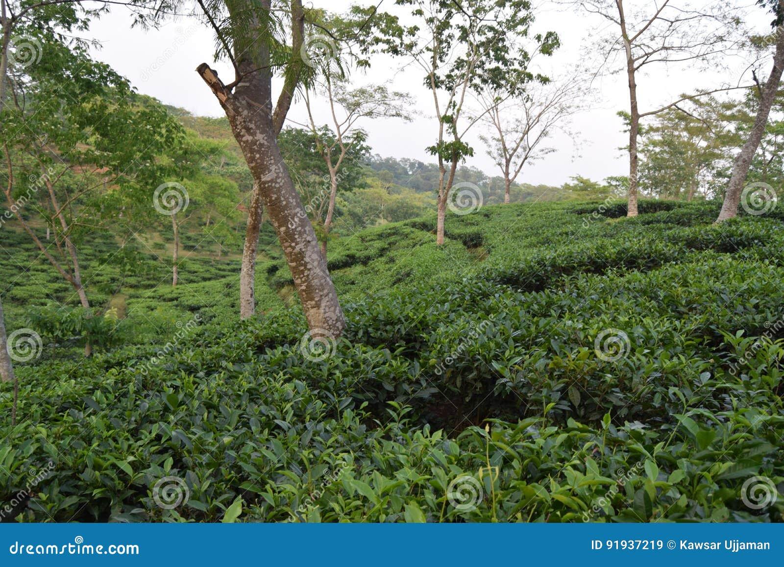 Giardino di tè di Fatickchri Odulia, Najirhat, Chittagong, Bangladesh
