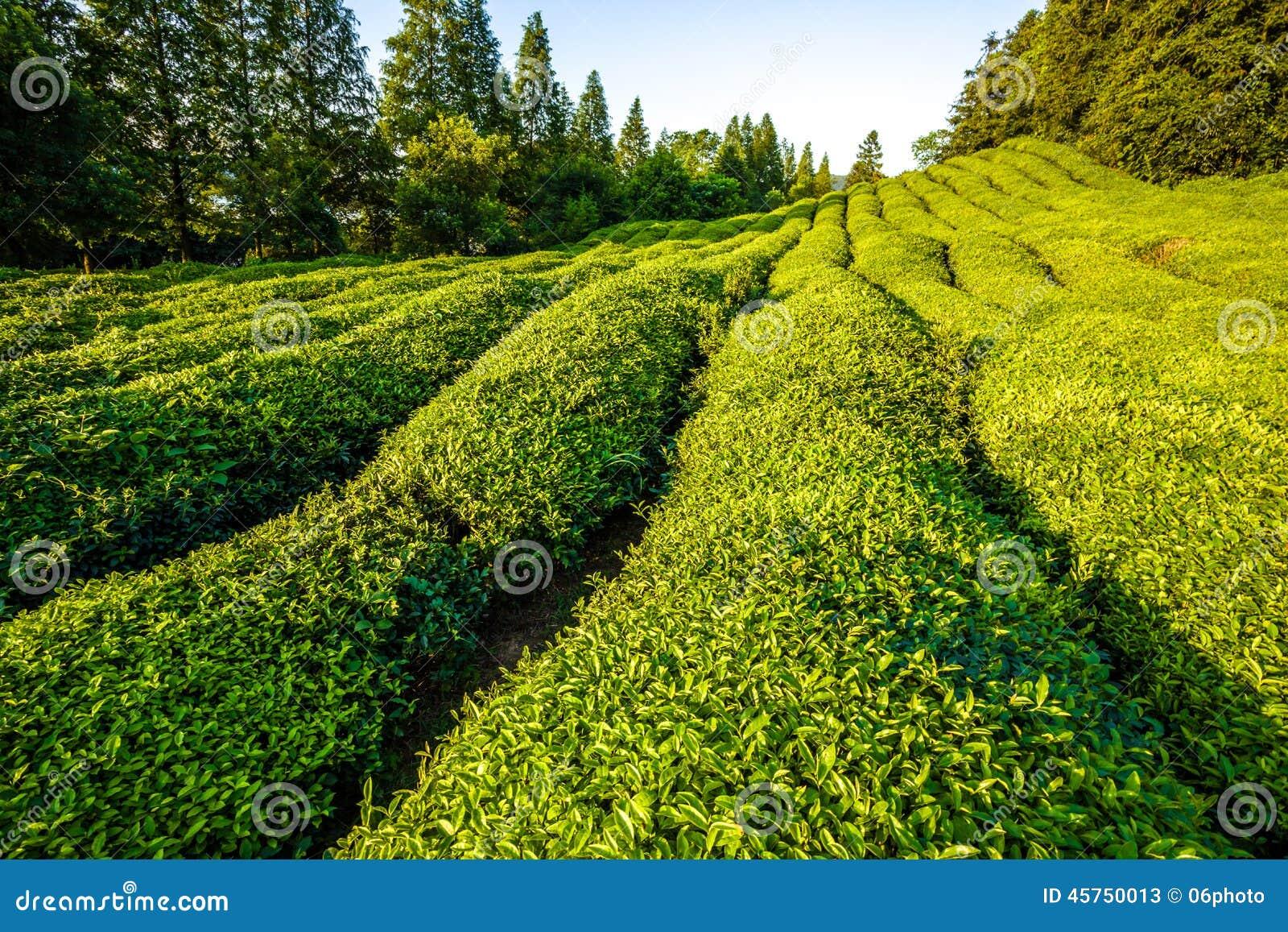 Giardino di tè verde sulla collina