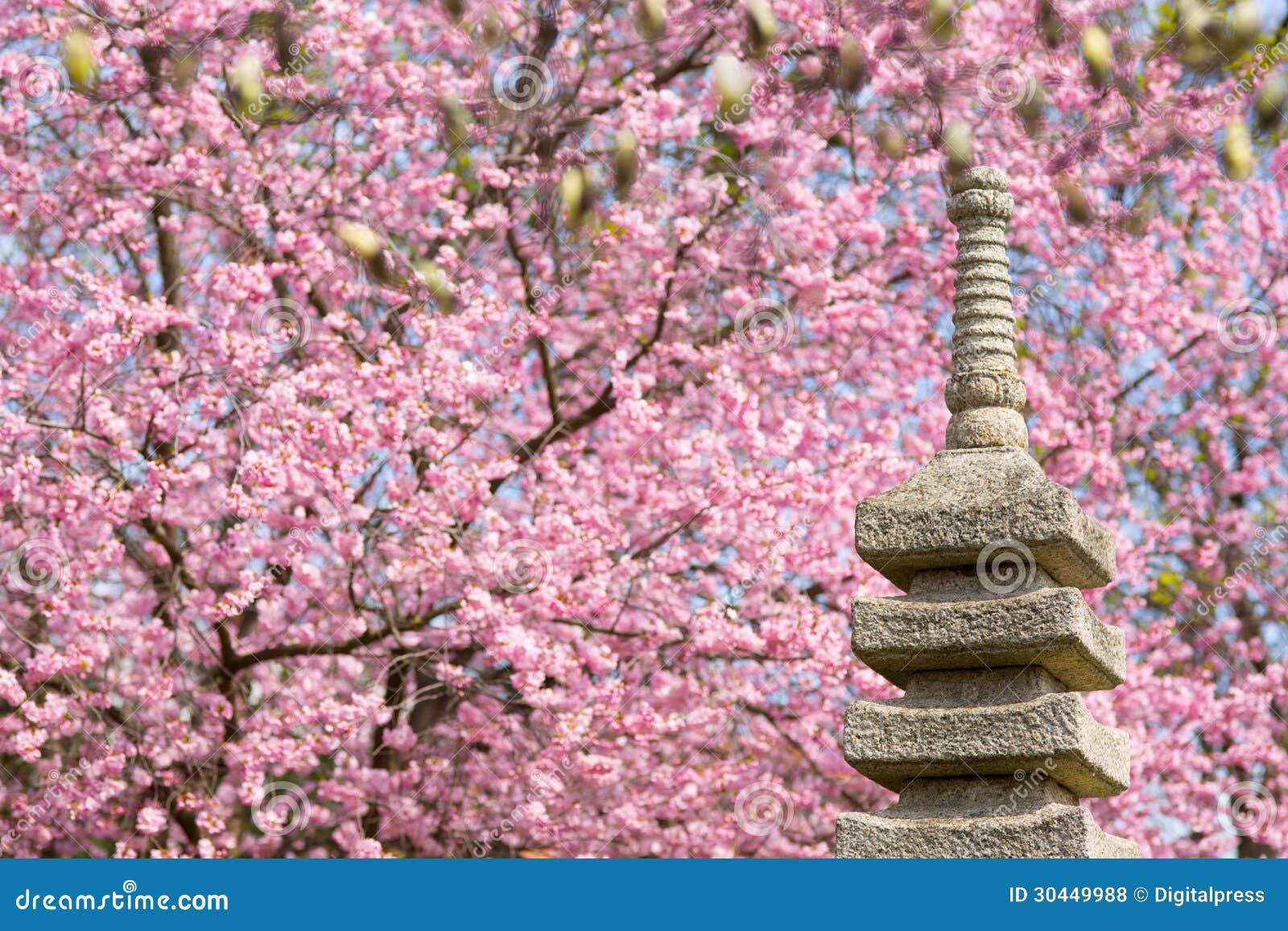 Giardino giapponese con il ciliegio di fioritura - Ciliegio da giardino ...