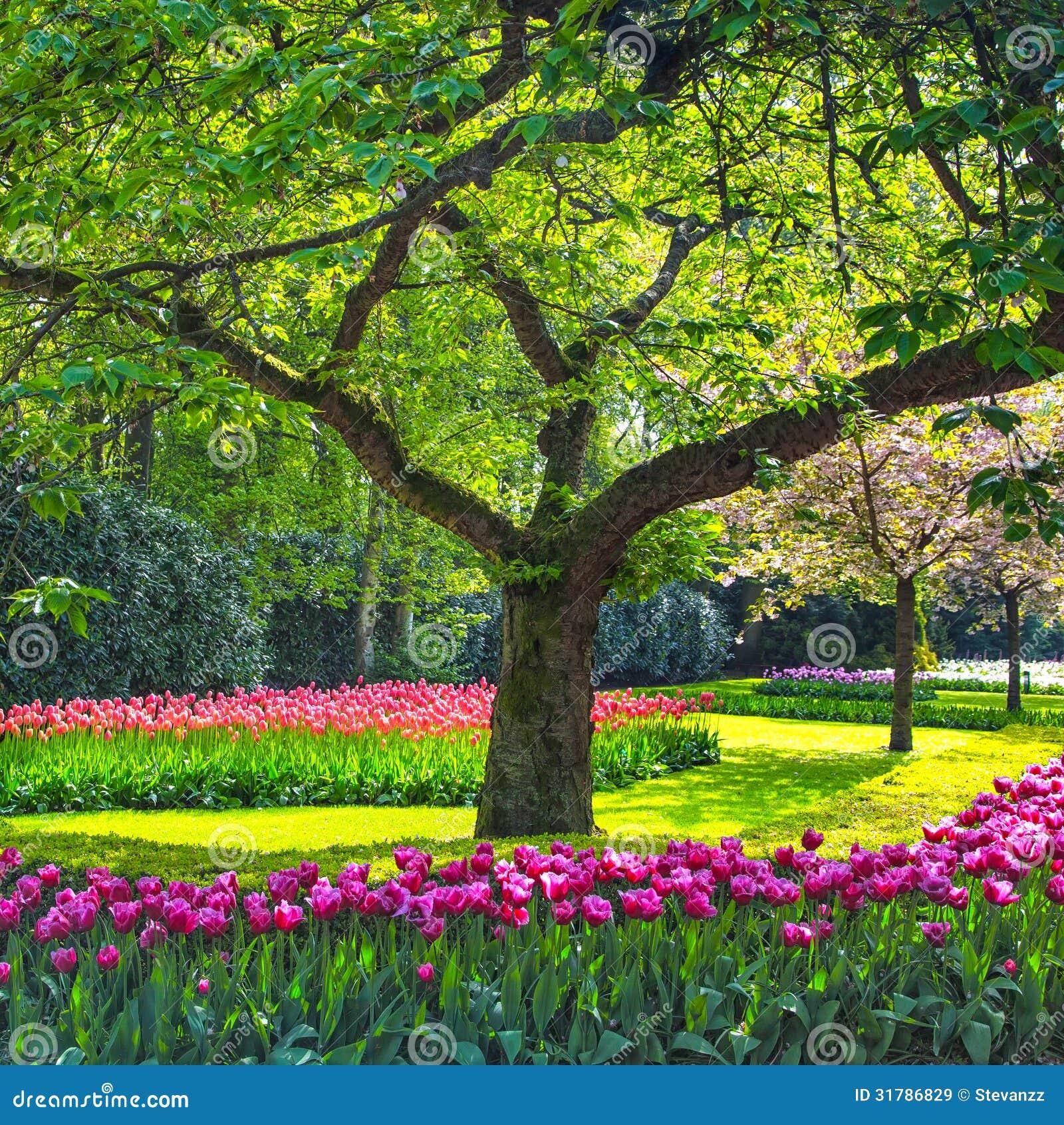 Giardino o giacimento di fiori del tulipano e dell albero in primavera. I Paesi Bassi