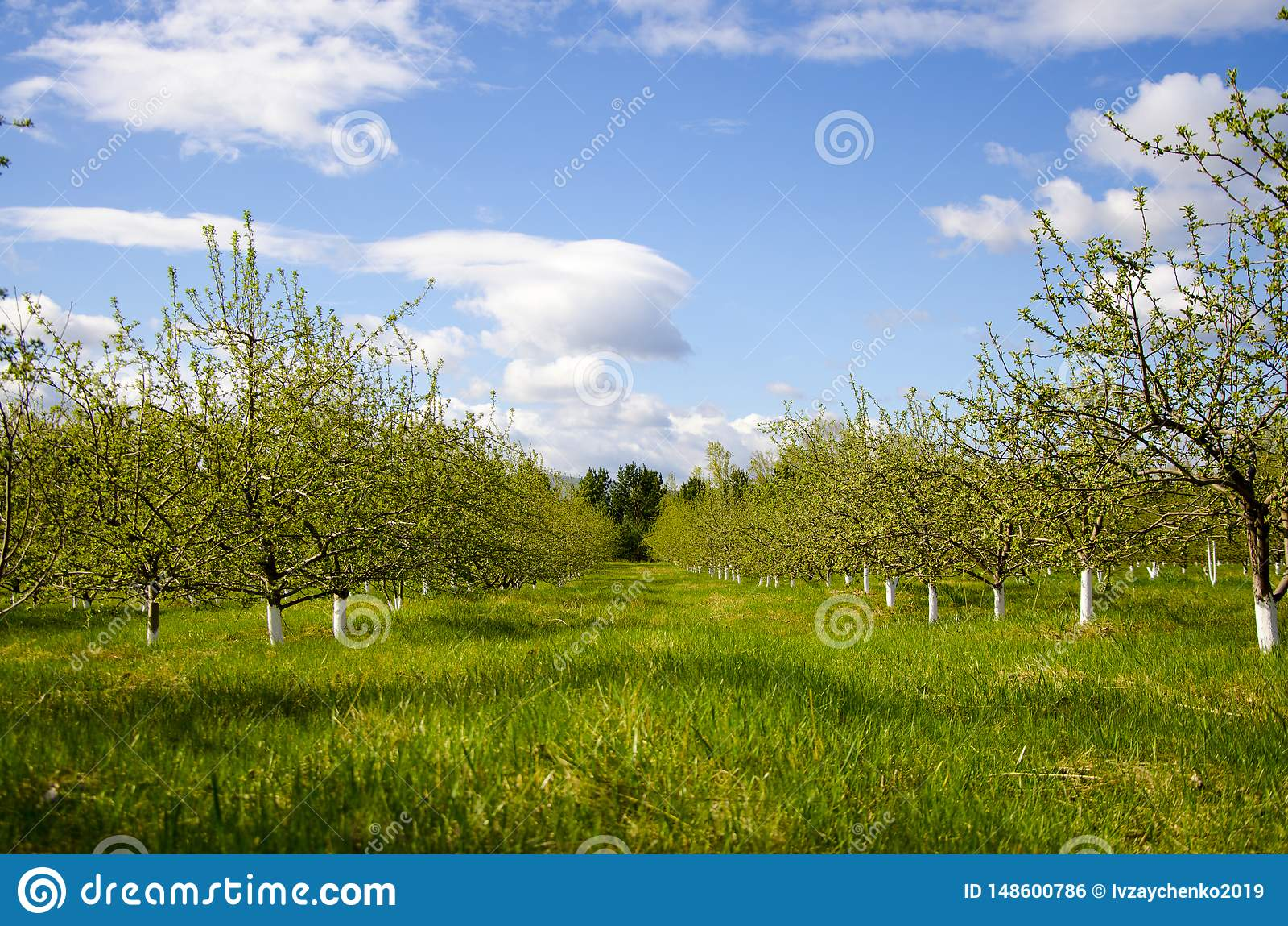 Giardino sbocciante della mela in primavera