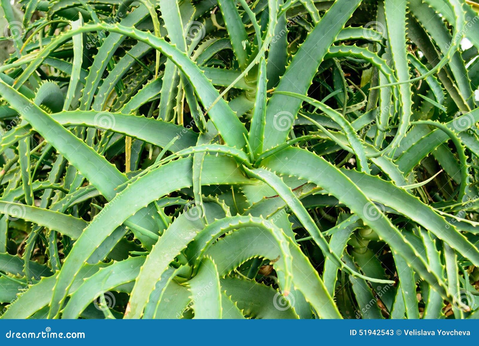 Aloe In Giardino giardino verde di vera dell'aloe, balchik, bulgaria immagine