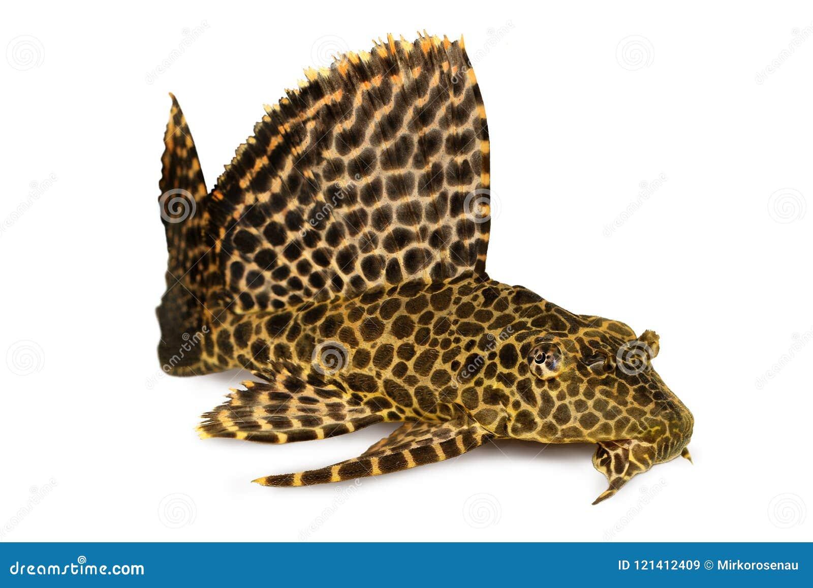 Gibbiceps di Pterygoplichthys del pesce dell acquario di Sailfin Pleco del leopardo
