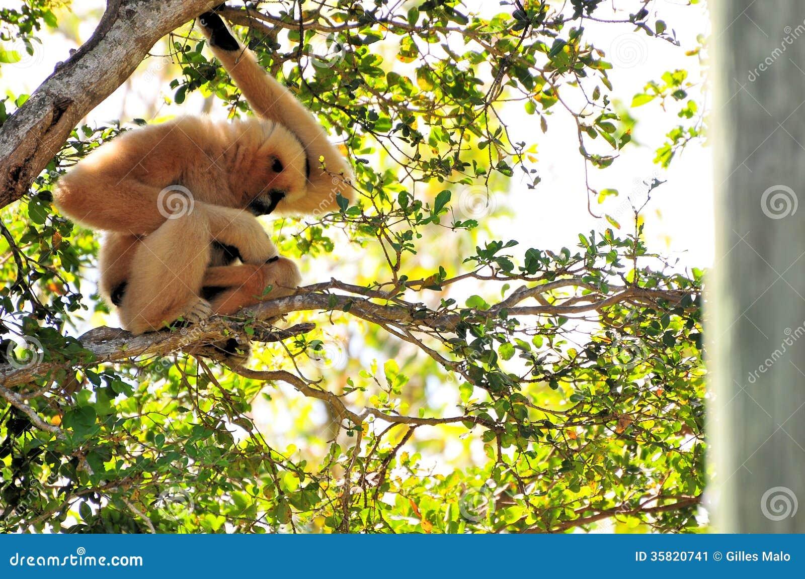 Gibbon-aap die haar baby streelt