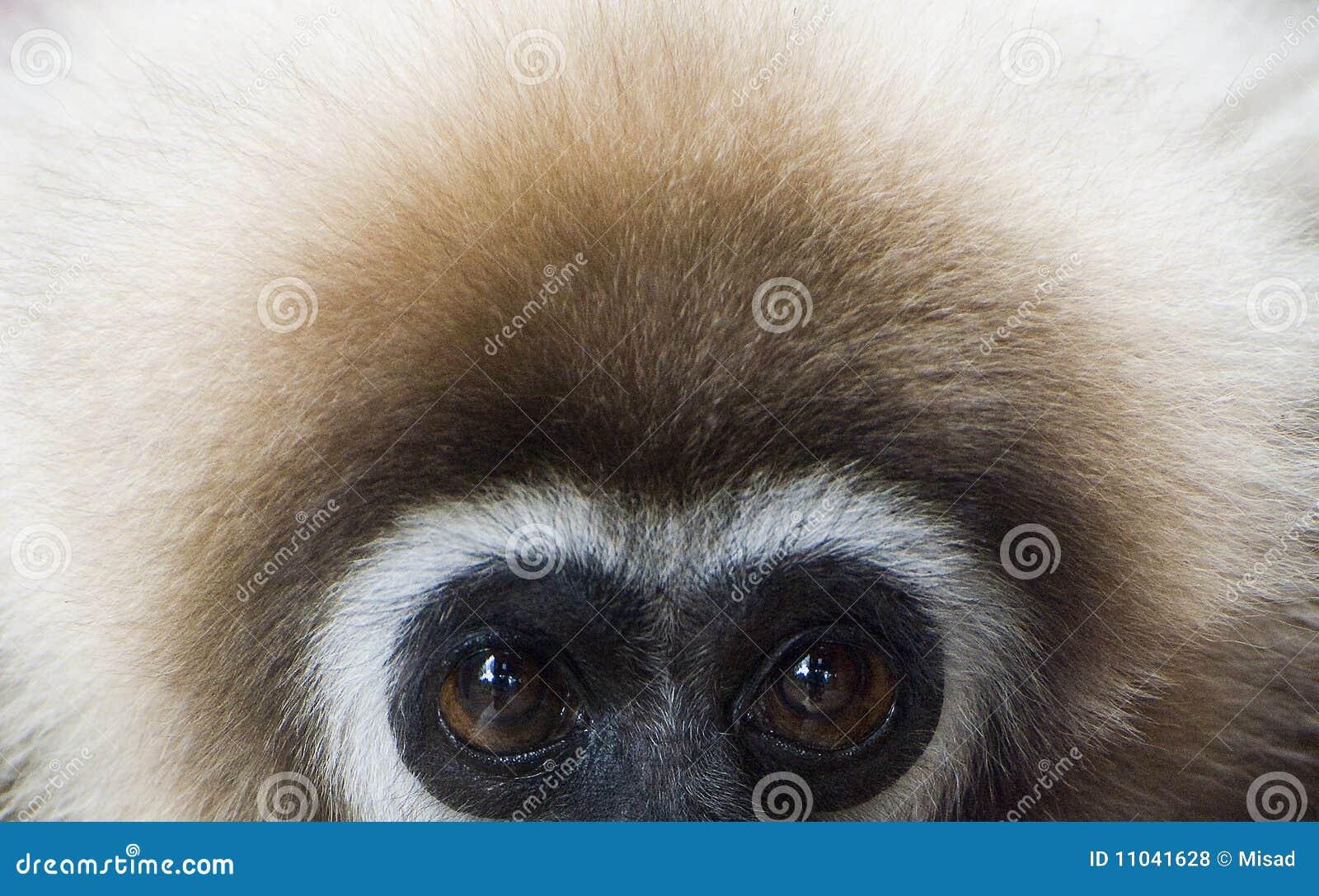 Gibbon Blanco-dado