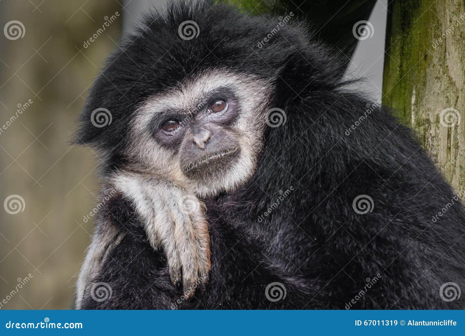 Gibbon dado blanco