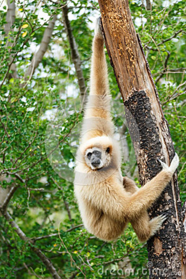 Gibbon (lar do Hylobates)