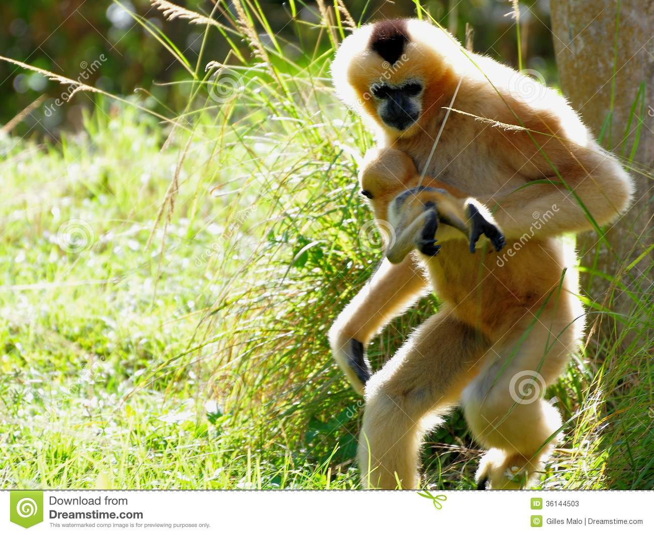 ... monkey (Nomascus) carrying offspring in Zoo Miami, South Florida