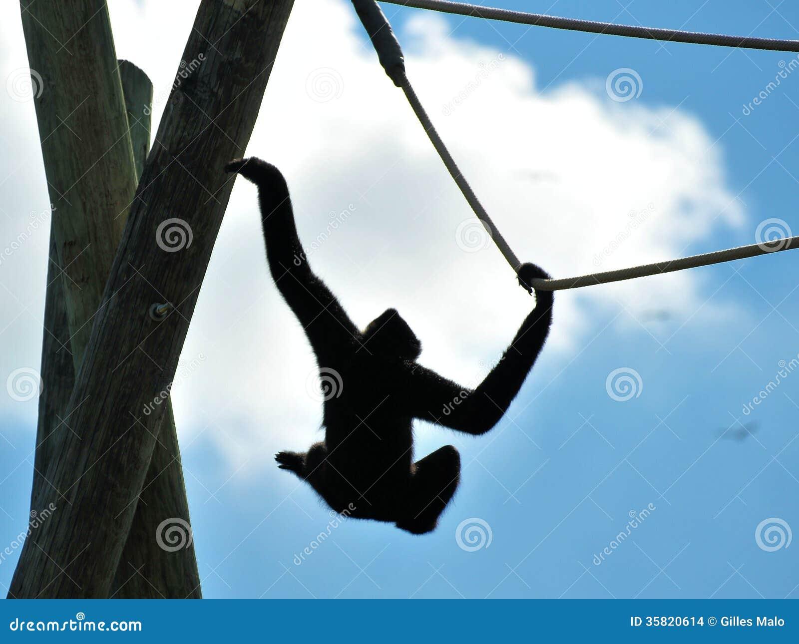 Gibbon Monkey Swinging On Rope Stock Photo Image 35820614