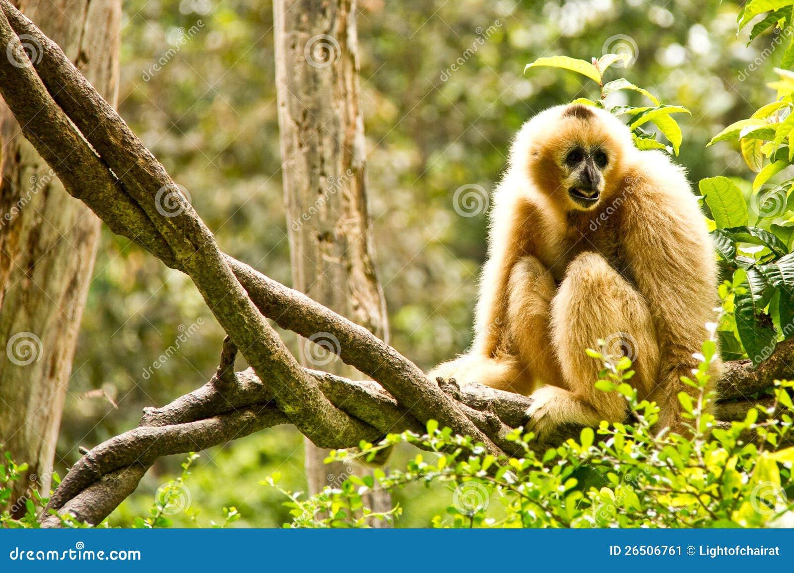 Gibbon no jardim zoológico do chiangmai