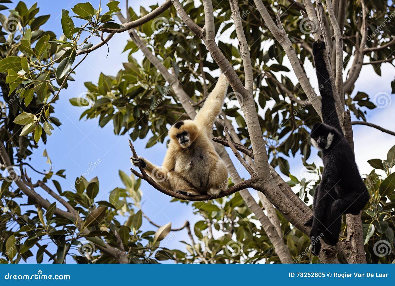 Gibbons σε ένα δέντρο