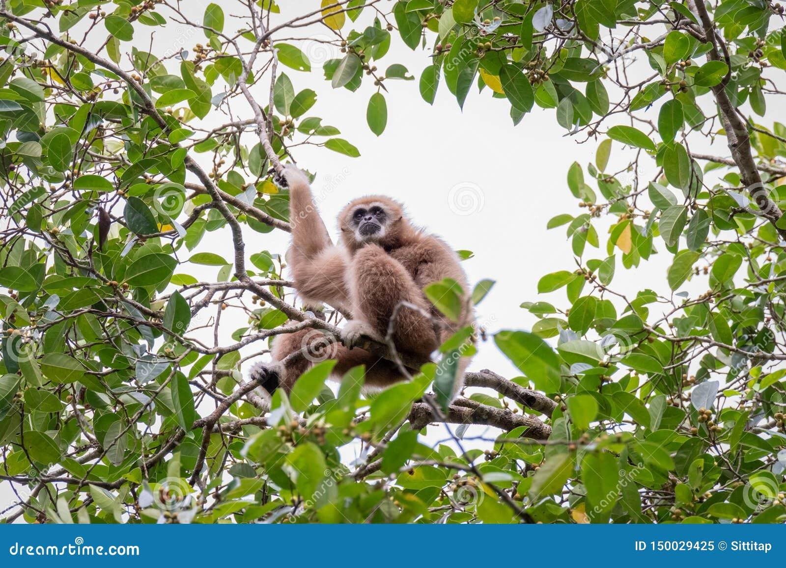 Gibony dla jedzenia na drzewach w tropikalnych lasach, Tajlandia
