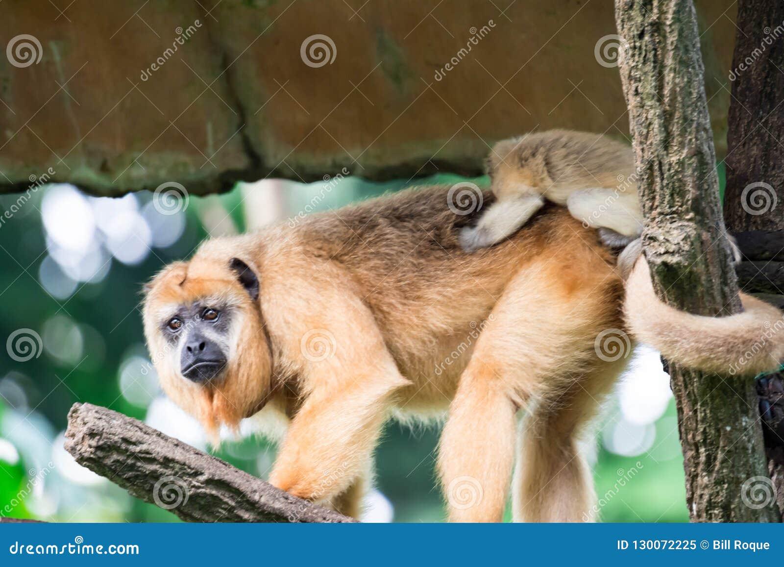 Gibony małpują Hylobatidae lub małpują podczas gdy niosący opiekę i brać