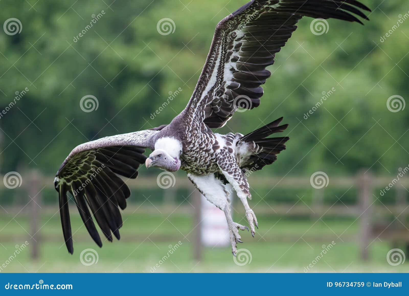 Gier het landen Afrikaanse aasetervogel die in dichte omhooggaand vliegen met