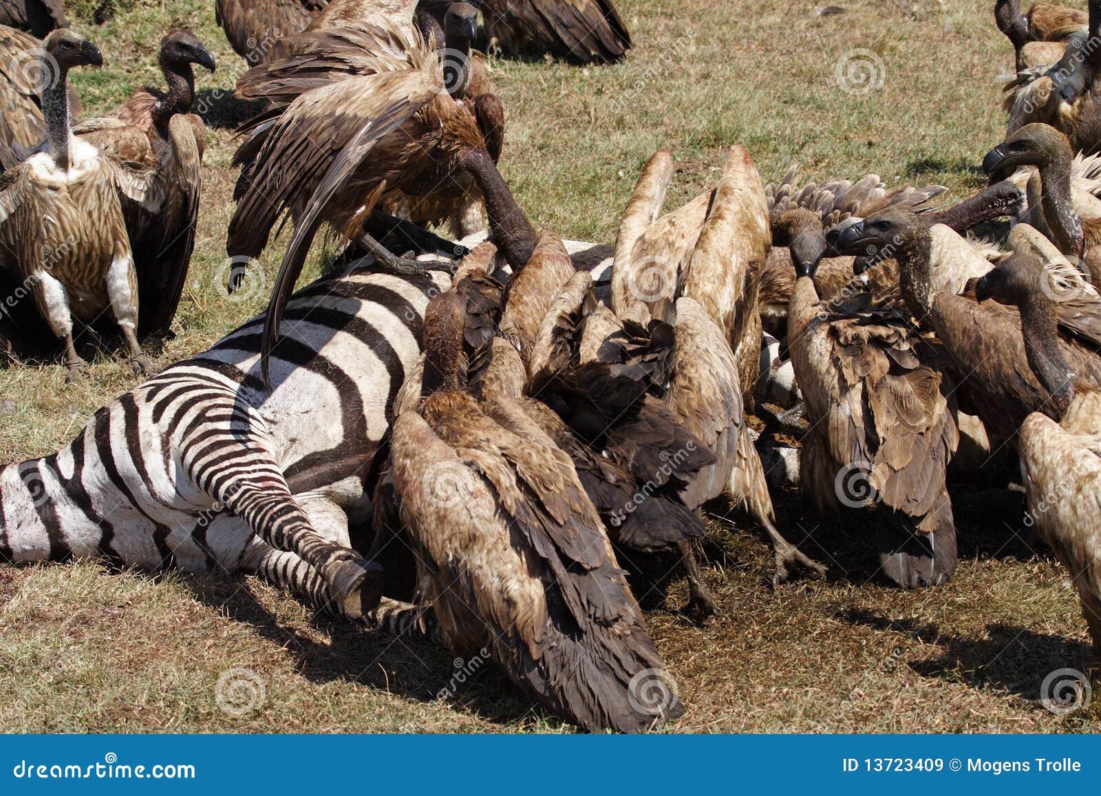 Gieren Op Gestreept Karkas Masai Mara Kenia Stock