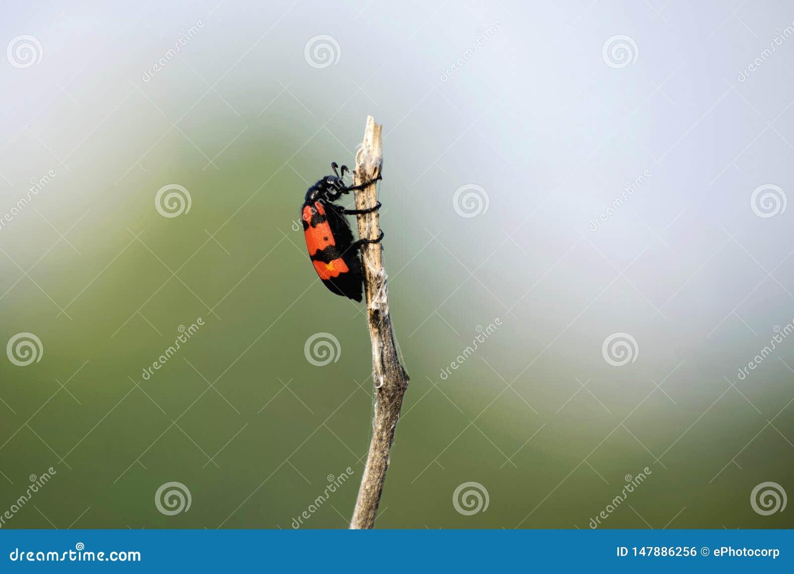 Giftige blaarkevers met heldere zwarte en rode waarschuwingskleuring, Akola-Maharashtra, India
