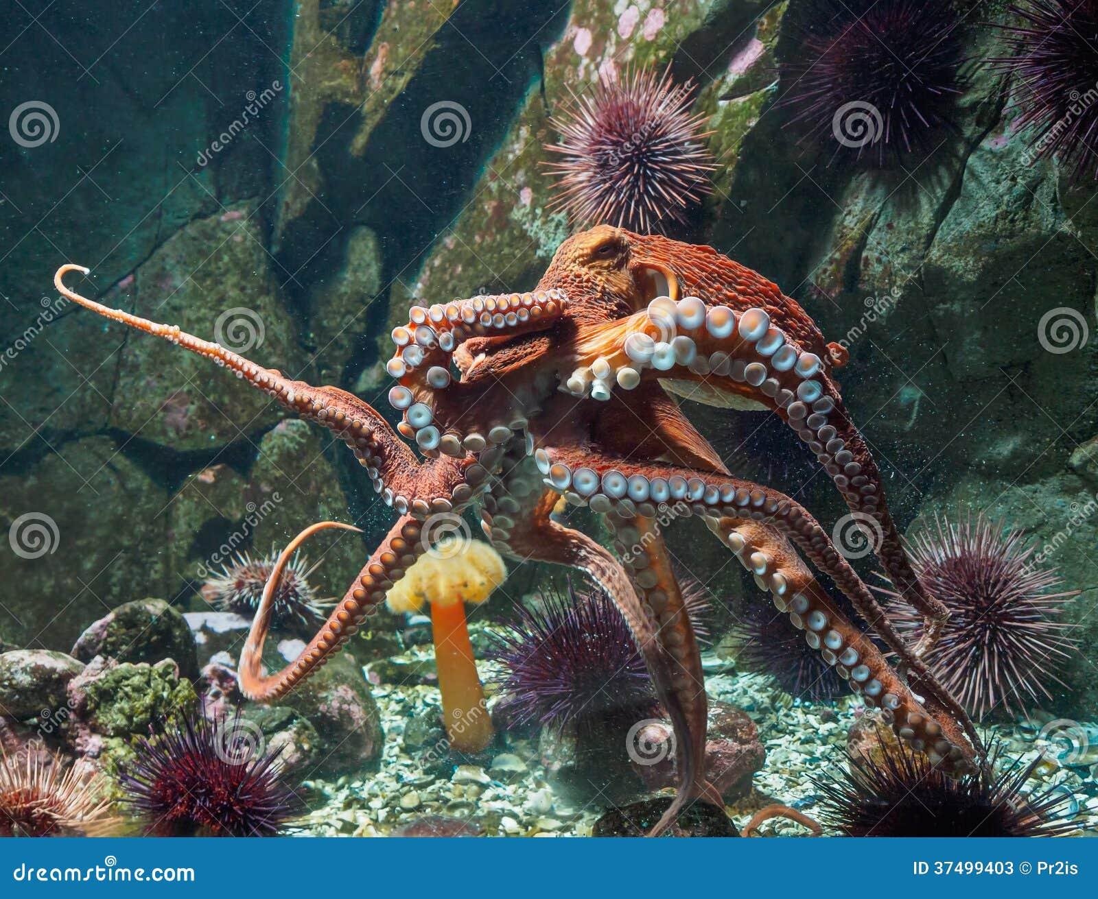 Gigant Pacyficzna ośmiornica (Enteroctopus dofleini)