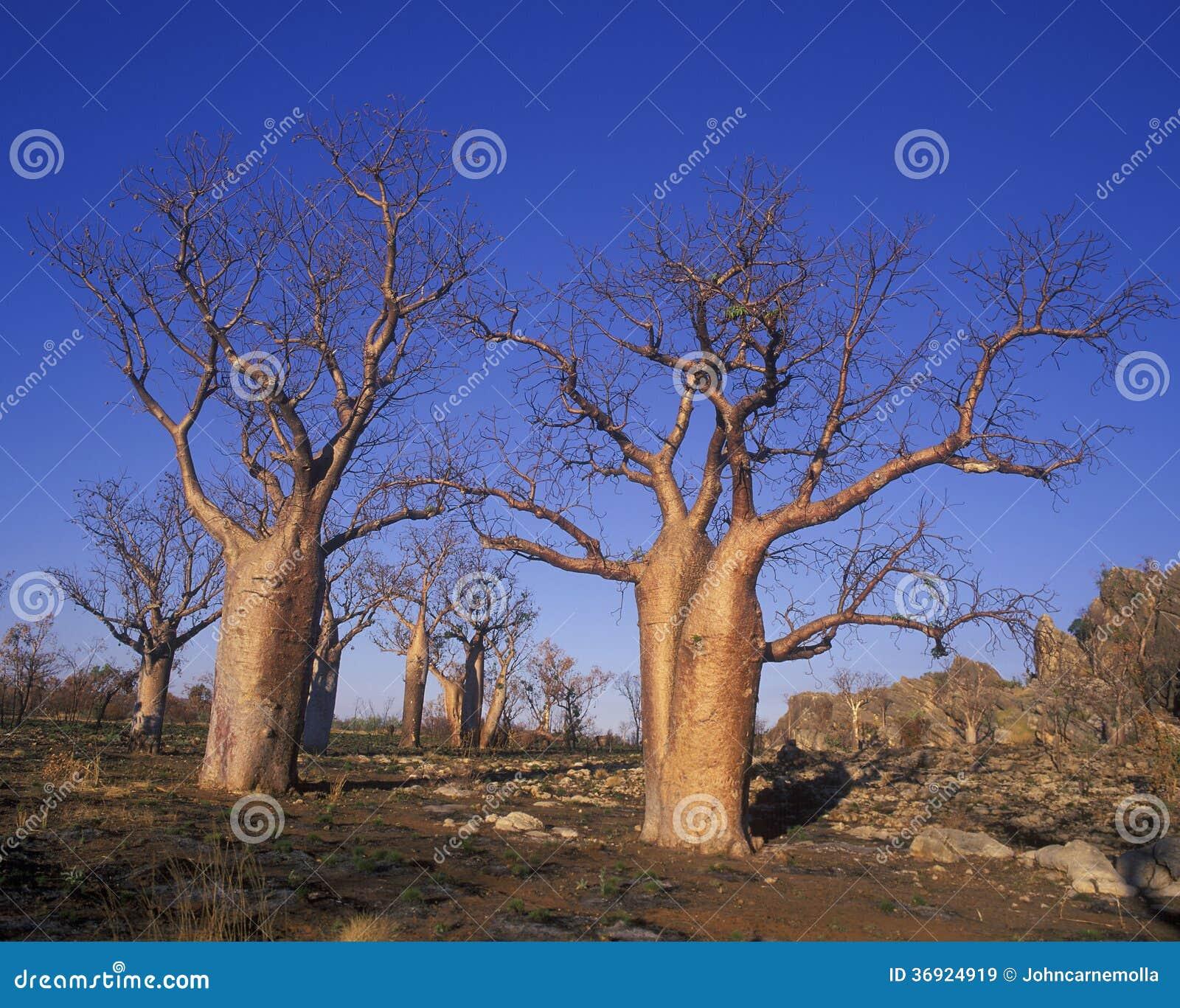Giganta Boab drzewa
