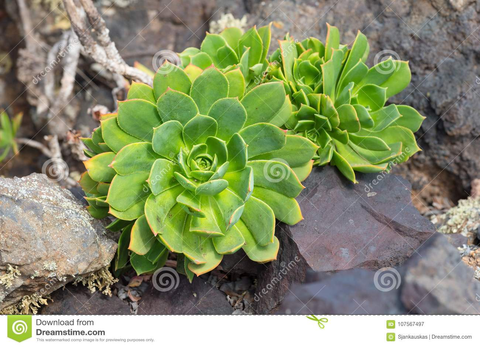 Giganta Houseleek Aeonium lancerottense tłustoszowata roślina