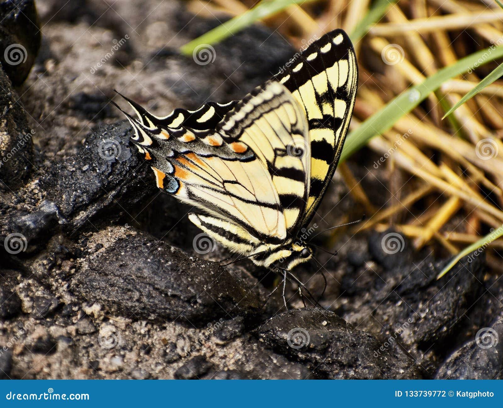 Giganta Swallowtail Motyli pięcie skały