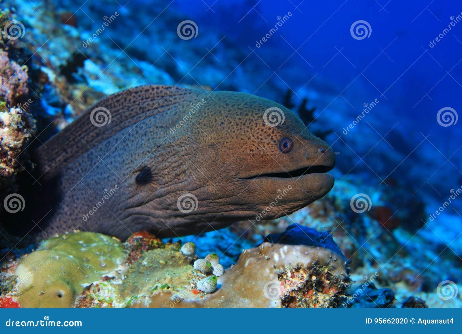 Gigante Moray Eel