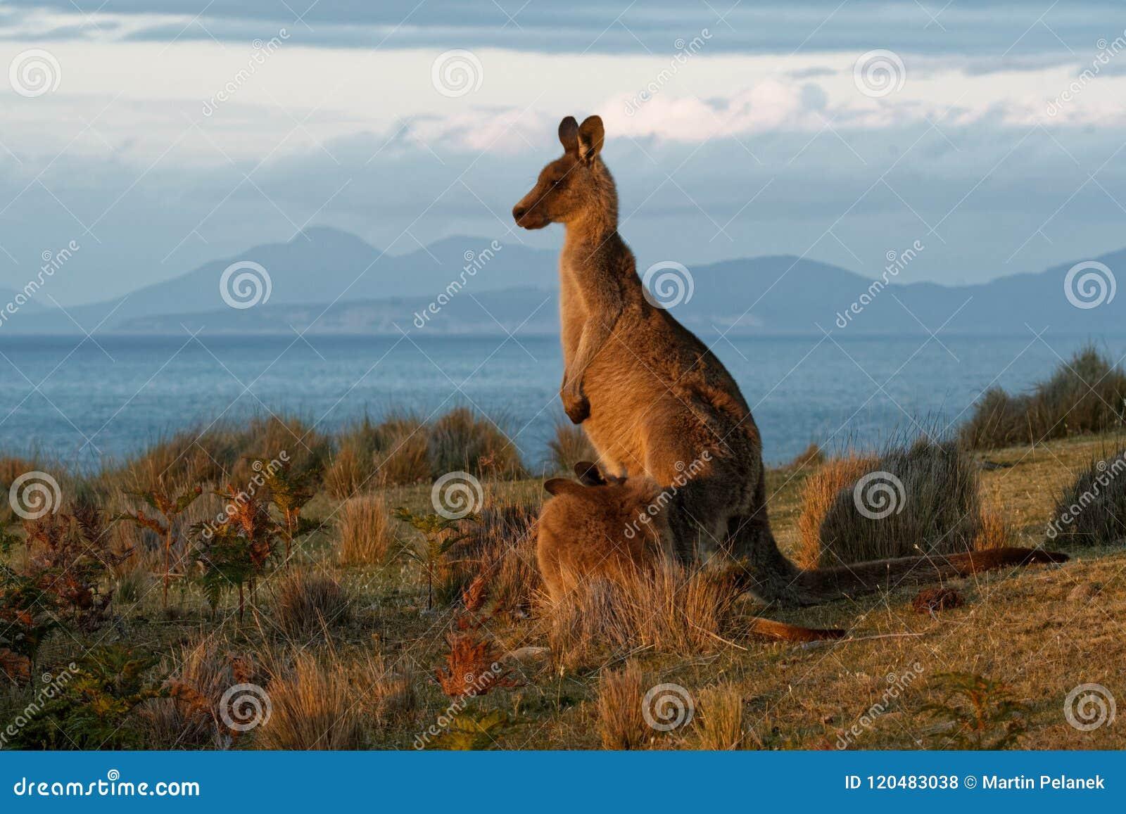 Giganteus do Macropus - Grey Kangaroo oriental em Tasmânia em Austrália, Maria Island, Tasmânia, estando no prado na noite