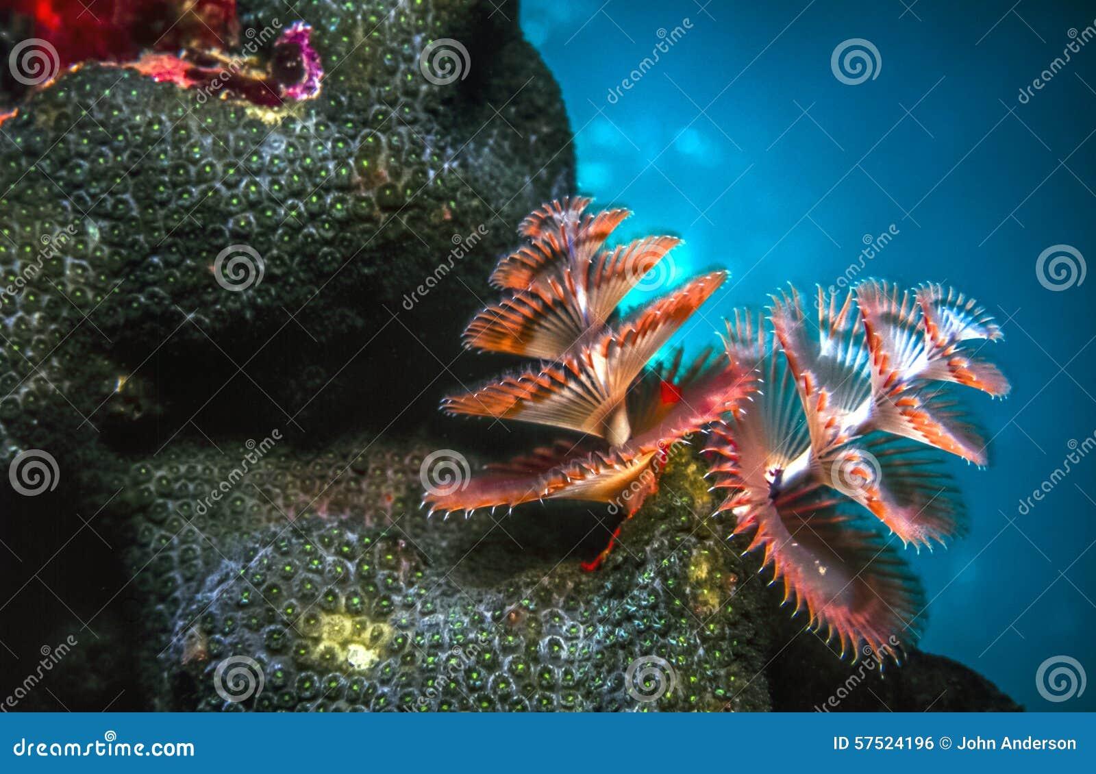 Giganteus Spirobranchus, σκουλήκια χριστουγεννιάτικων δέντρων