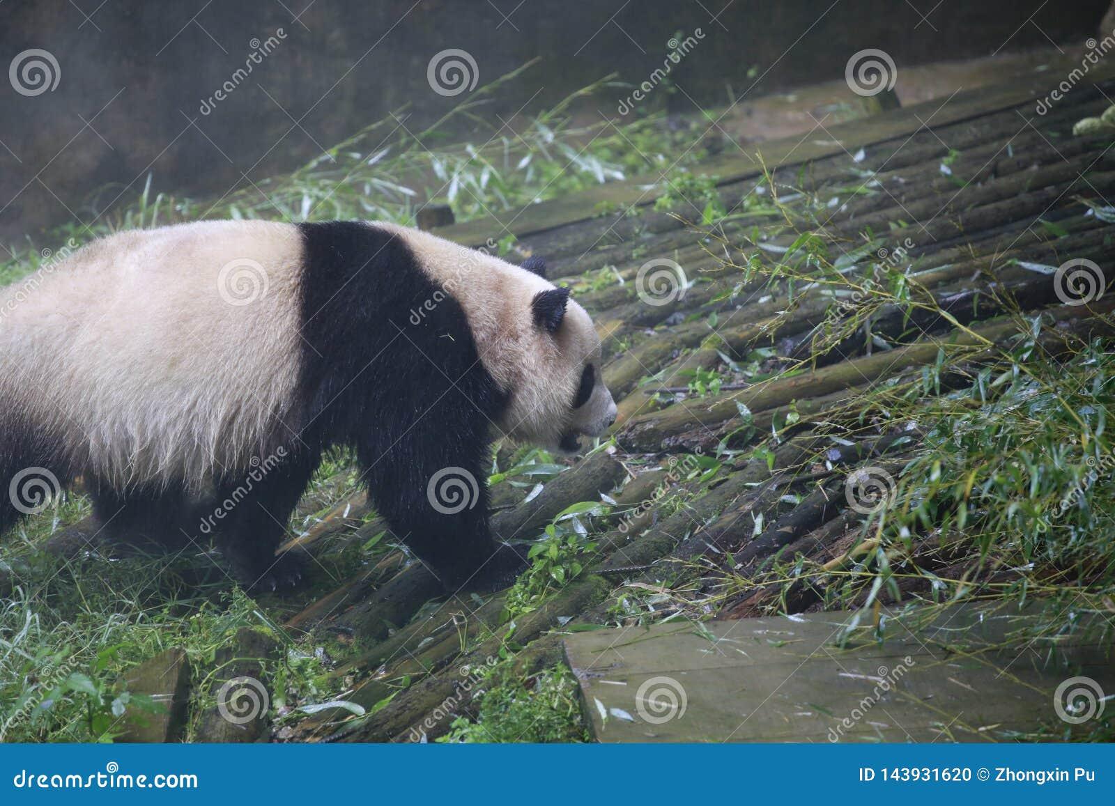 Gigantyczna panda należy jedyni ssaki carnivora niedźwiadkowa rodzina gigantycznej pandy podrodzina i gigantyczna panda, _