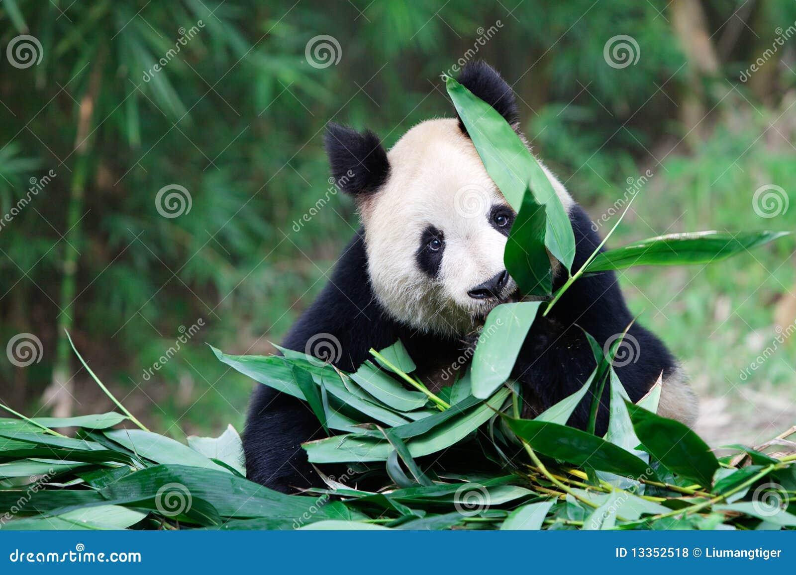 Gigantyczna stara panda