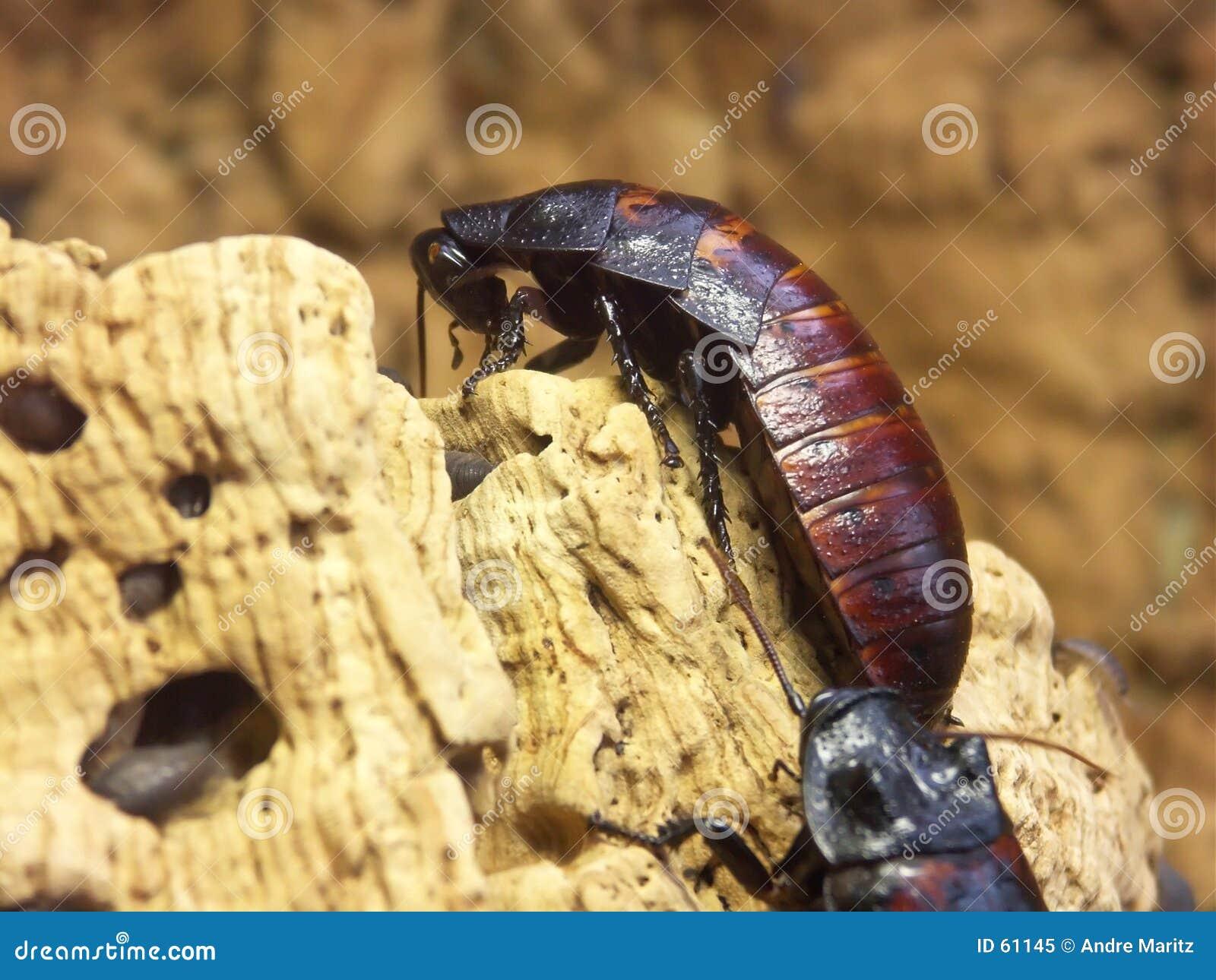 Gigantyczne karaluchy