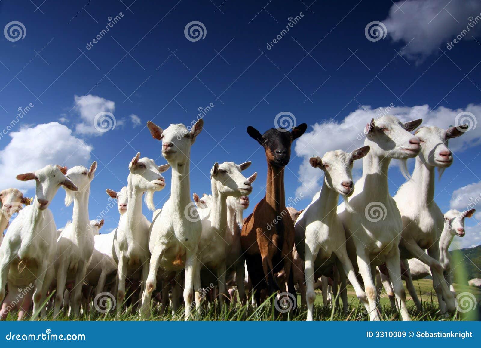 Gigantyczne kozy