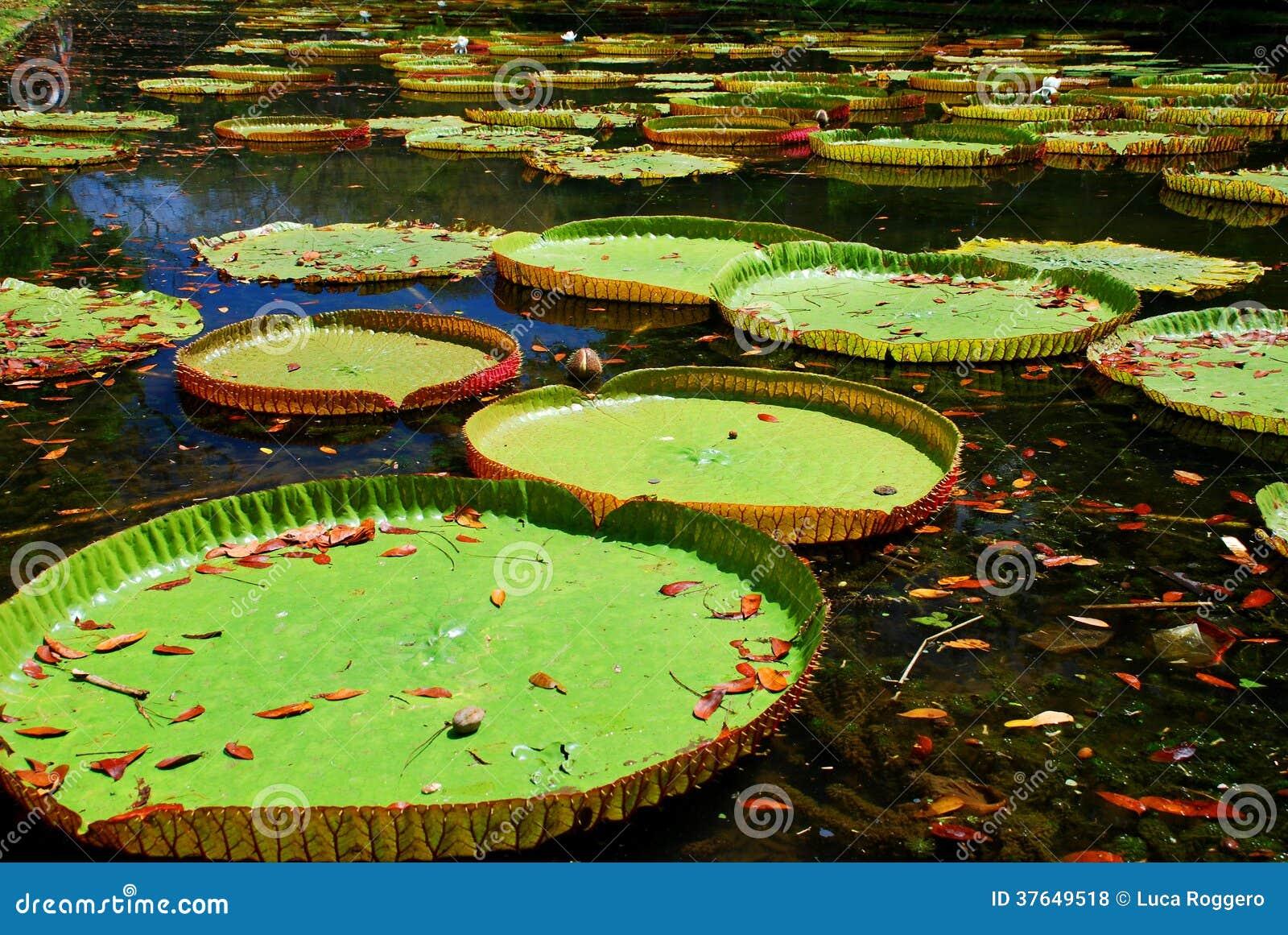 Gigantyczne wodne leluje. Sir Seewoosagur Ramgoolam ogród botaniczny, Pamplemousses, Mauritius