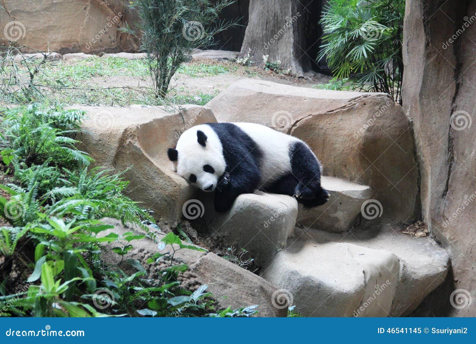 Gigantycznej pandy dosypianie