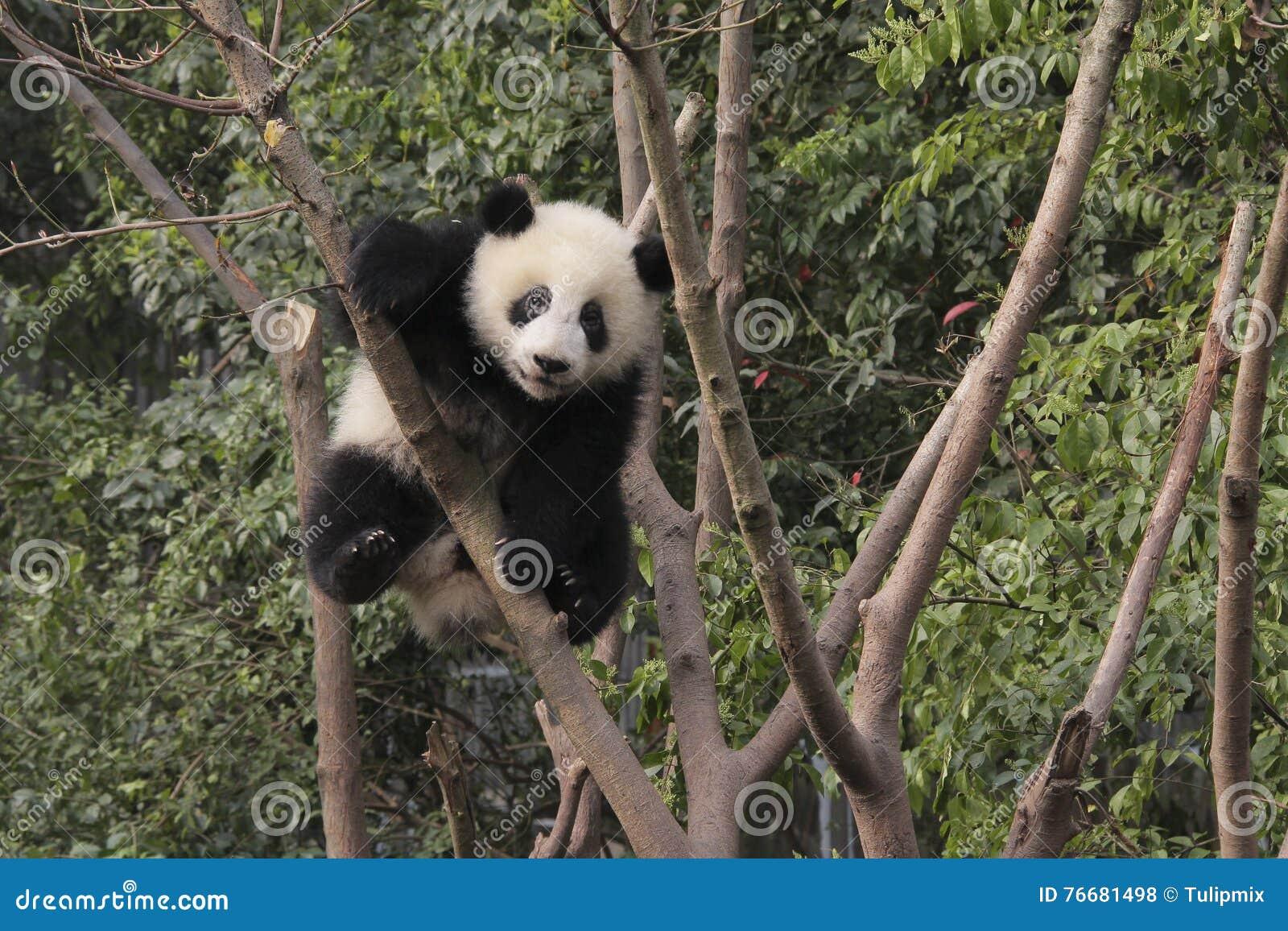 Gigantycznej pandy lisiątko bawić się na drzewie