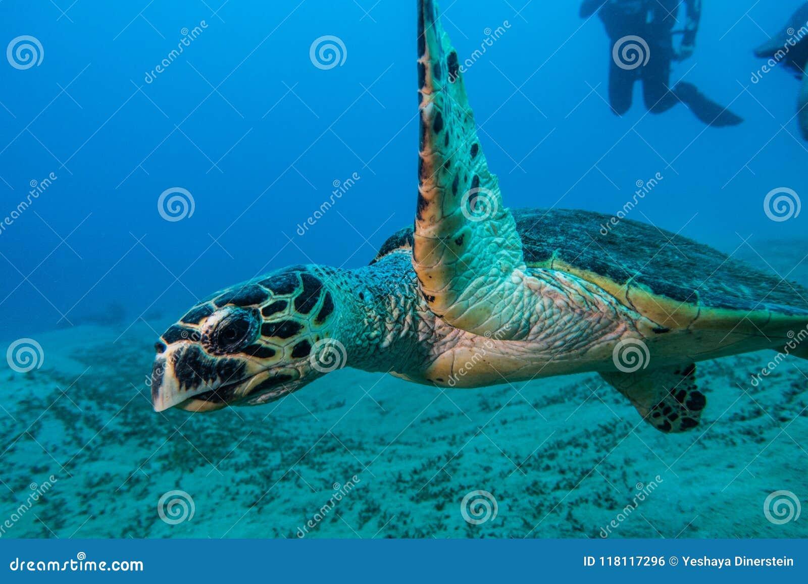Gigantyczni Zieleni Denni żółwie w Czerwonym morzu, Eilat Israel a e