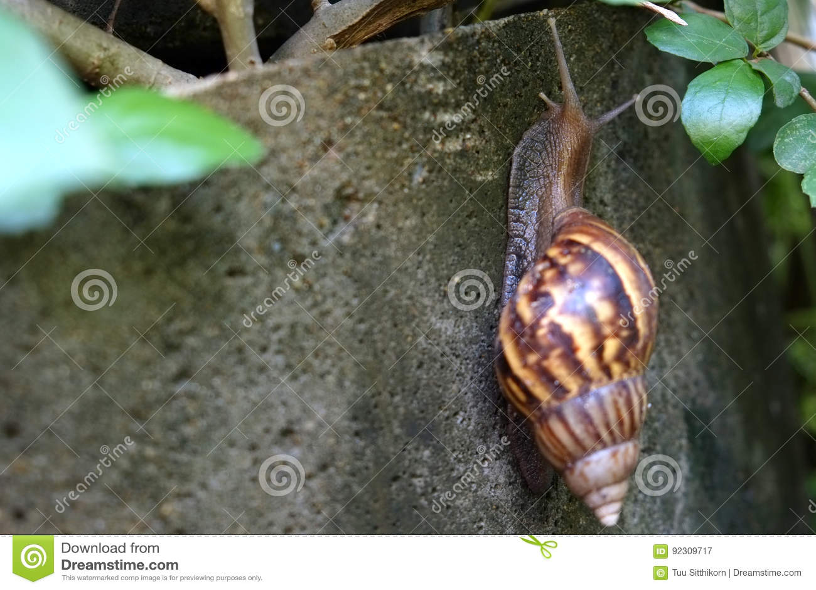 Gigantyczny Afrykański Gruntowy ślimaczek wolno wspina się na betonie wal