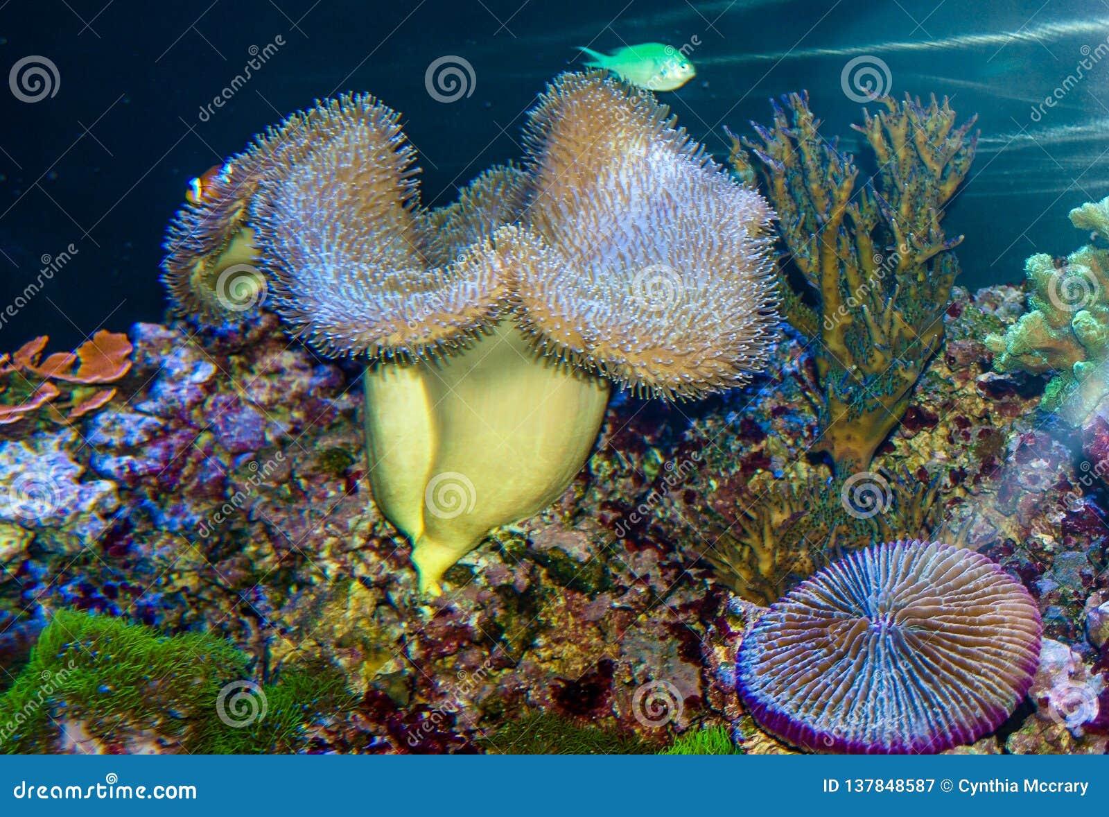 Gigantyczny Dywanowy anemon