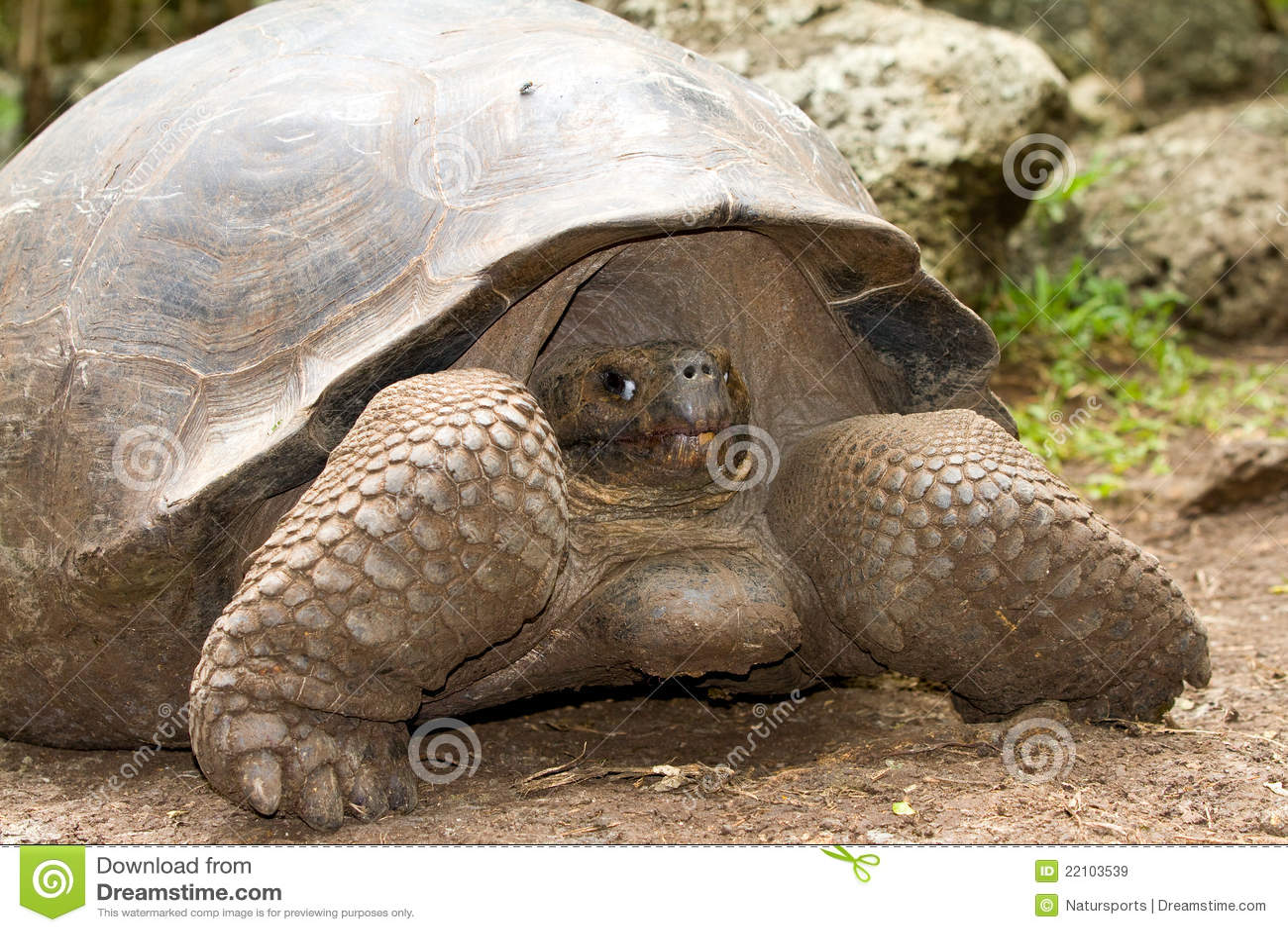 Gigantyczny Galapagos tortoise