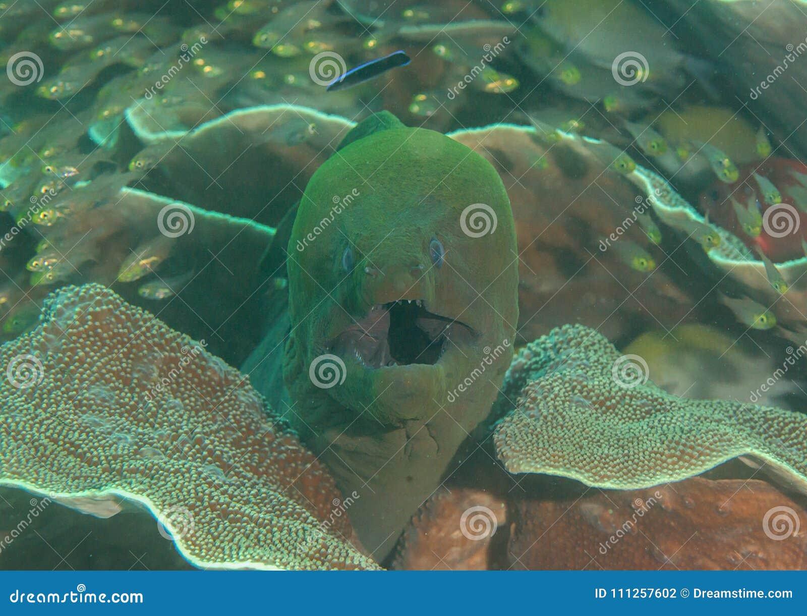 Gigantyczny murena węgorza Gymnothorax javanicus otwiera usta dla czyścić, Bali, Indonezja