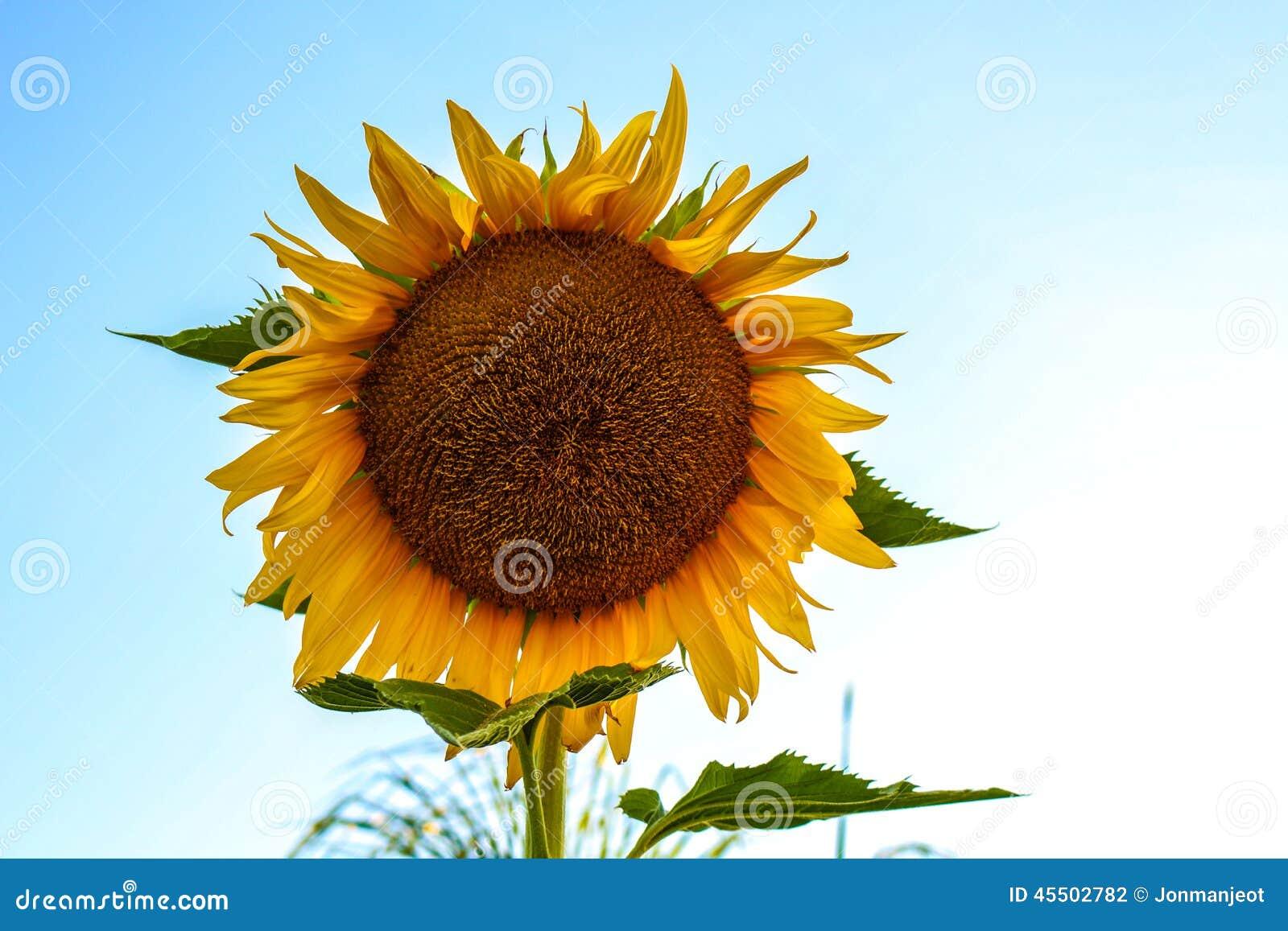 Gigantyczny słonecznik