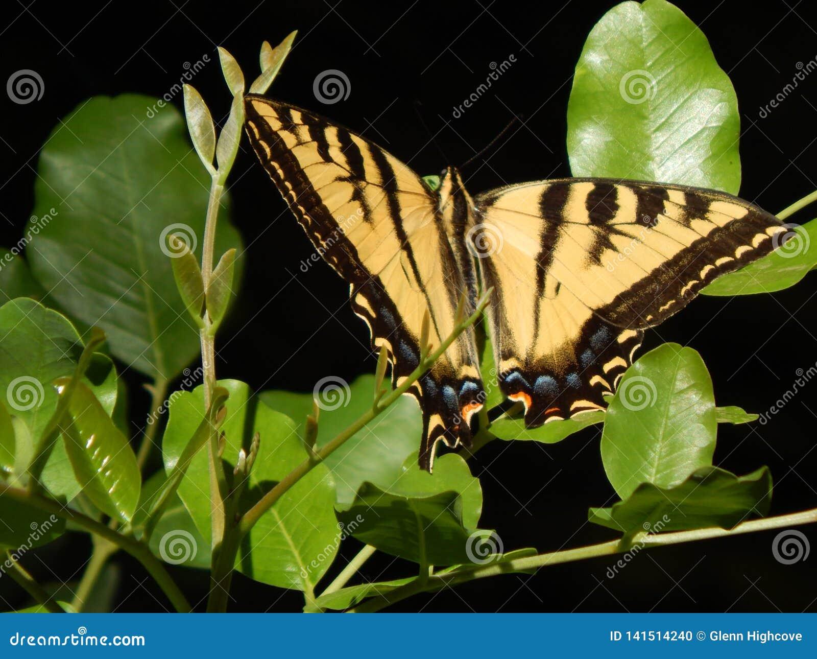 Gigantyczny Tygrysi Swallowtail motyl na zieleni Opuszcza Wysoka Rozdzielczość