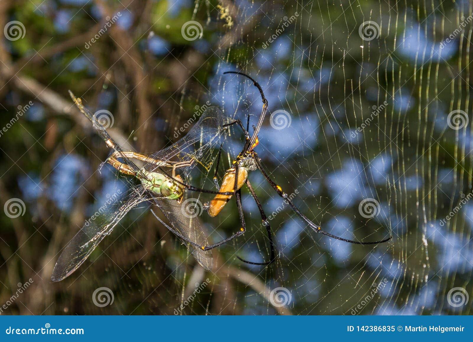 Gigantyczny złoty okręgu tkacza pająk lub jemy jego zdobycza Nephila pilipes typowo znajdujący w Azja