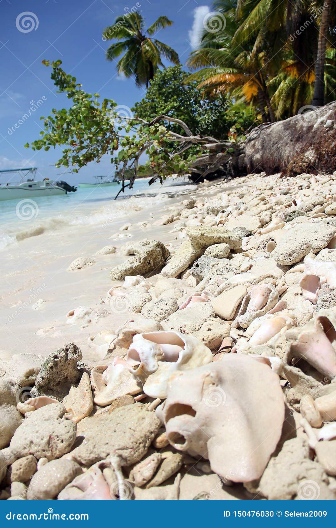 Gigas för Strombus för pärla för stort havskal rosa och korallen som ligger på en karibisk strand för vit sand på den Saona ön