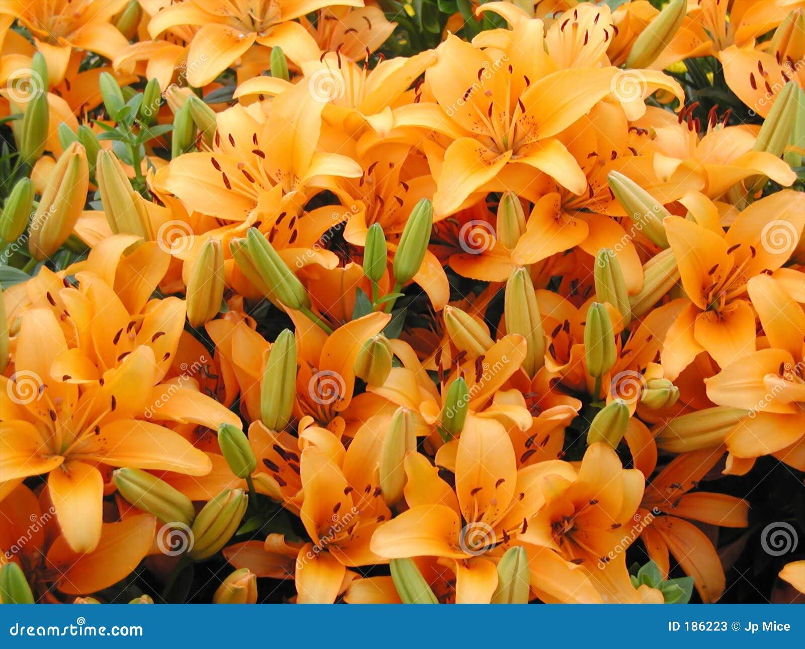 Giglio arancione