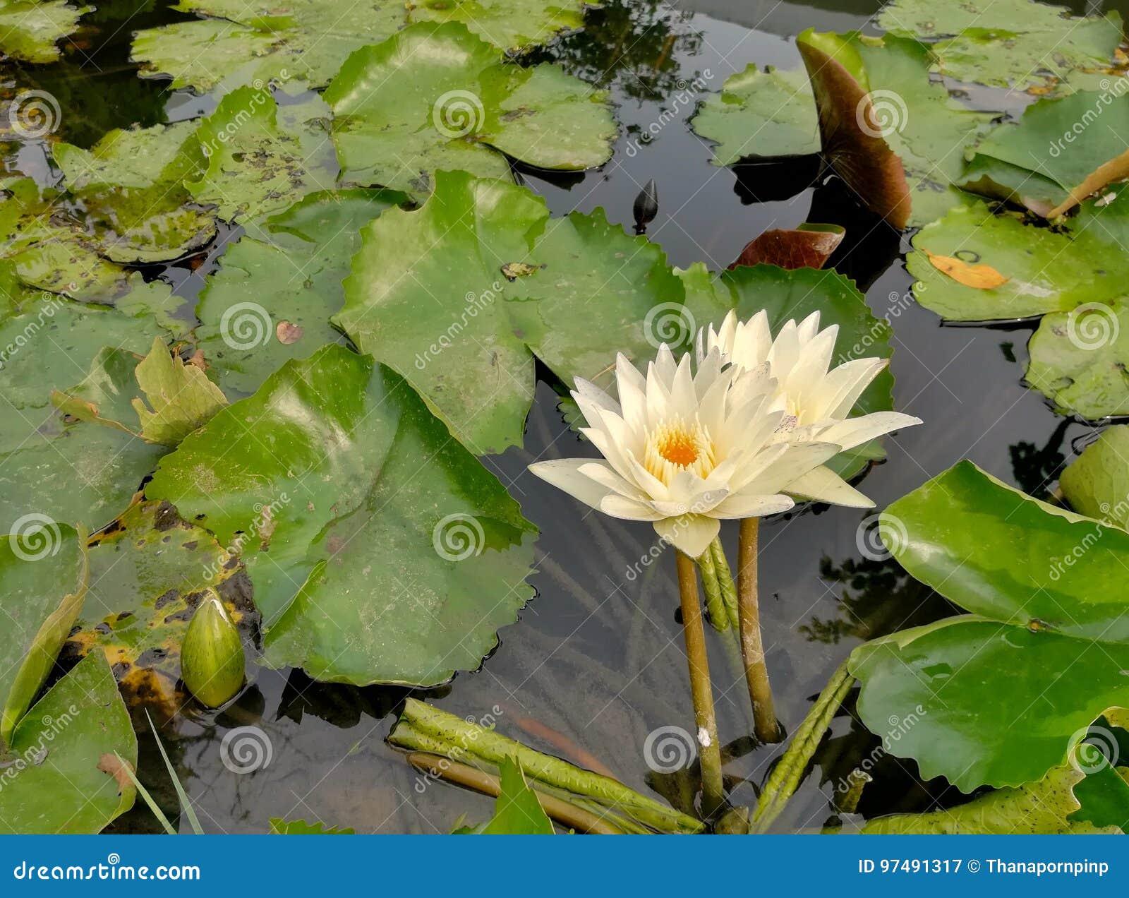 Giglio di acqua nello stagno