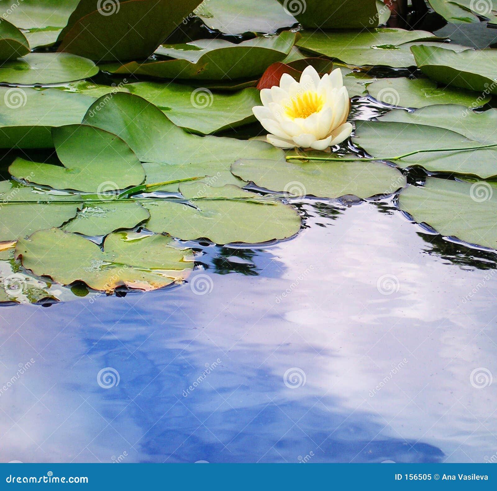 giglio di acqua in uno stagno immagine stock immagine di