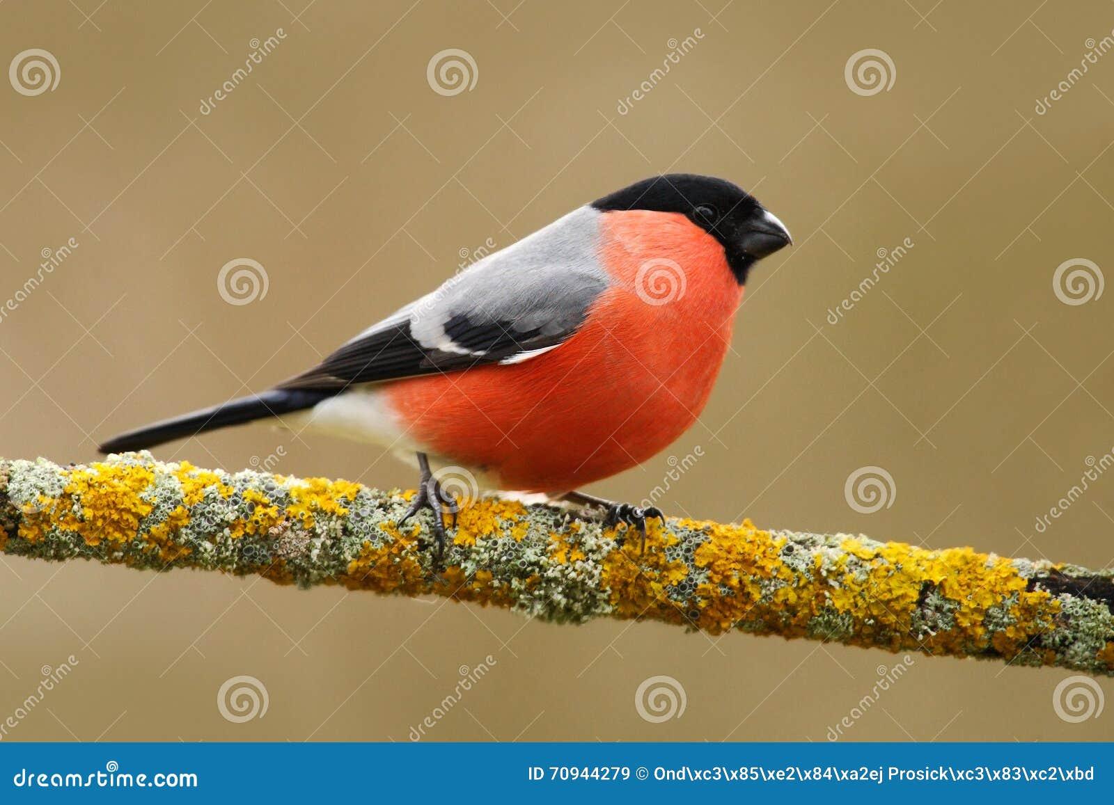 Gil, Pyrrhula pyrrhula, siedzi na żółtej liszaj gałąź, Sumava, republika czech, czerwony męski ptak śpiewający z zielonym i żółty