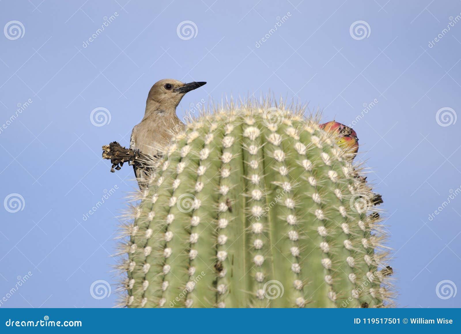 Gila Woodpecker on Saguaro Cactus, Tucson Arizona desert