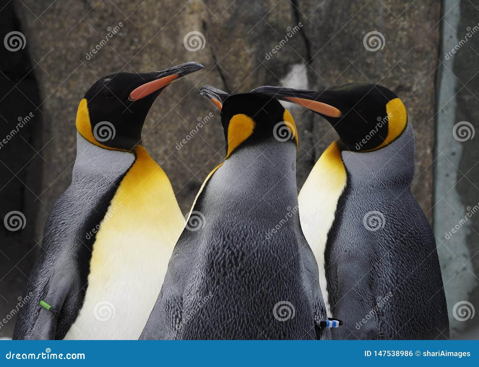 Gingar dos pinguins de imperador