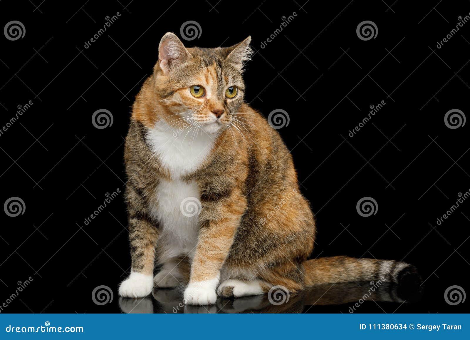 Ginger Calico Cat gordo no fundo preto isolado
